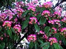 100 ピース/バッグ黄金ミモザアカシア Baileyana 黄色アカシア木盆栽の花の芳香植物装飾家の庭の装飾(China)