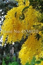 100 個黄金ミモザアカシア Baileyana 黄色アカシア木盆栽の花の芳香植物装飾家の庭の装飾(China)
