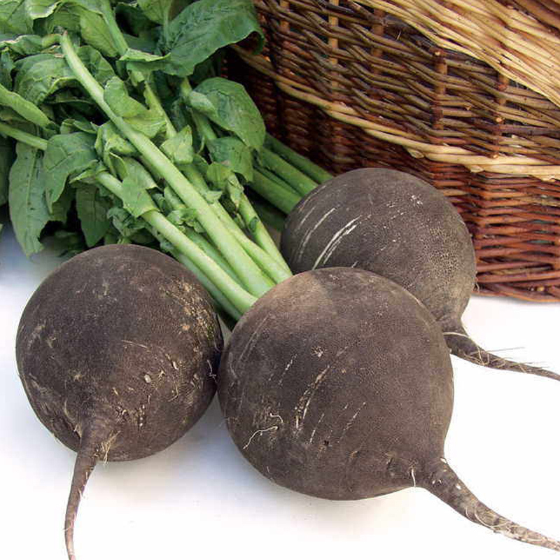 "60 PCS Courtyard And Garden plant Green Organic Vegetables Grown on The farm BLACK SPANISH ROUND ""RADISH Seeds Vegetable Seeds(China (Mainland))"