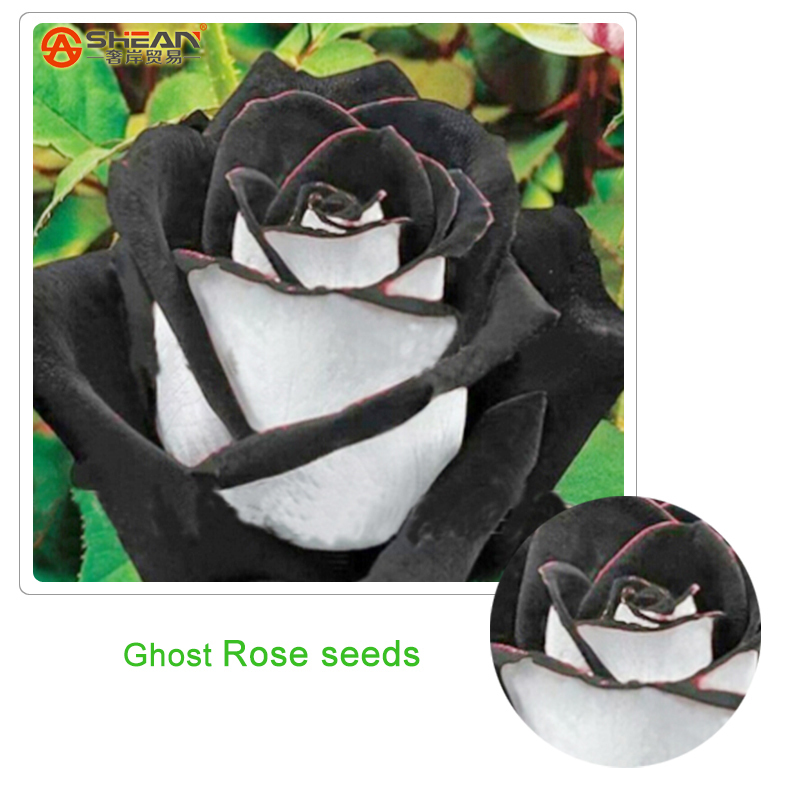 Rare White Black Edge Rose Seeds Plants Potted Rose Flower Seeds Balcony for Home Garden 100 pcs / lot(China (Mainland))