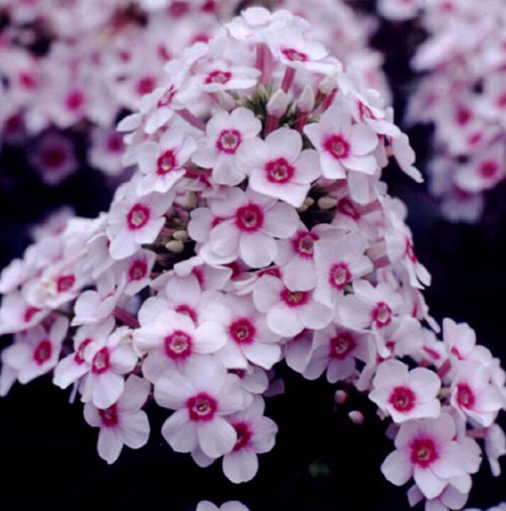 flores jardim perenes : flores jardim perenes:sementes cercado por flores perenes perfumado cuidado fácil jardim