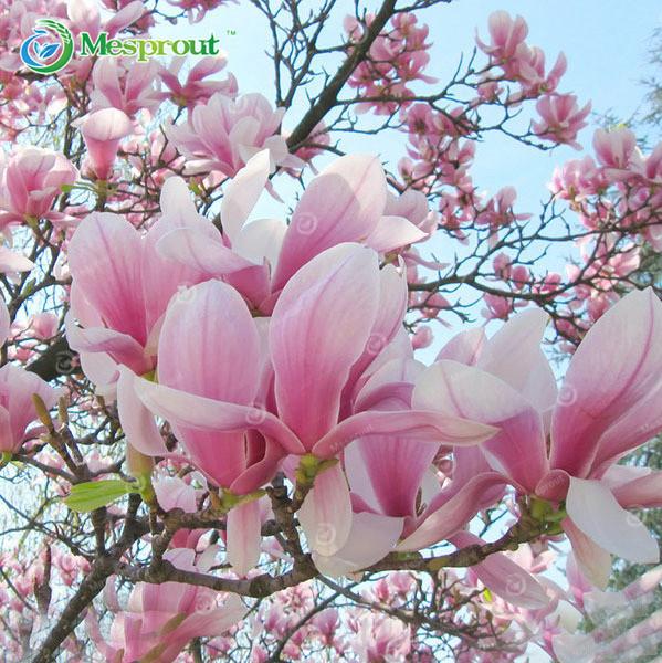 Compra plantas magnolia online al por mayor de china - Semilla de magnolia ...
