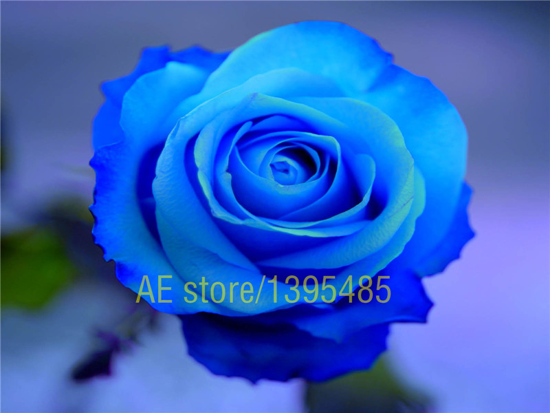 200 pcs rare Purple Blue Rose Flowering Plants Strong Fragrant Dazzling Garden Flowers seed for home garden(China (Mainland))