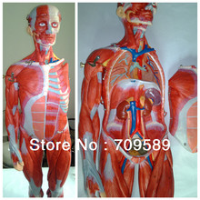 Buy ISO 78-CM Muscles model, Full Body Muscles model, Anatomical Model for $268.00 in AliExpress store