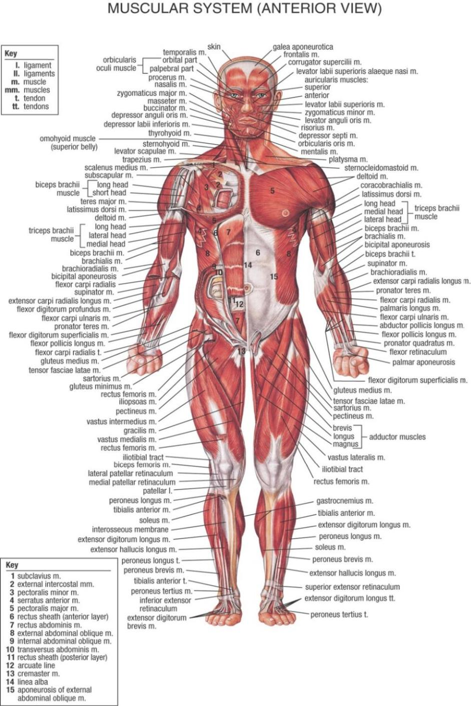 Human muscle anatomy diagram