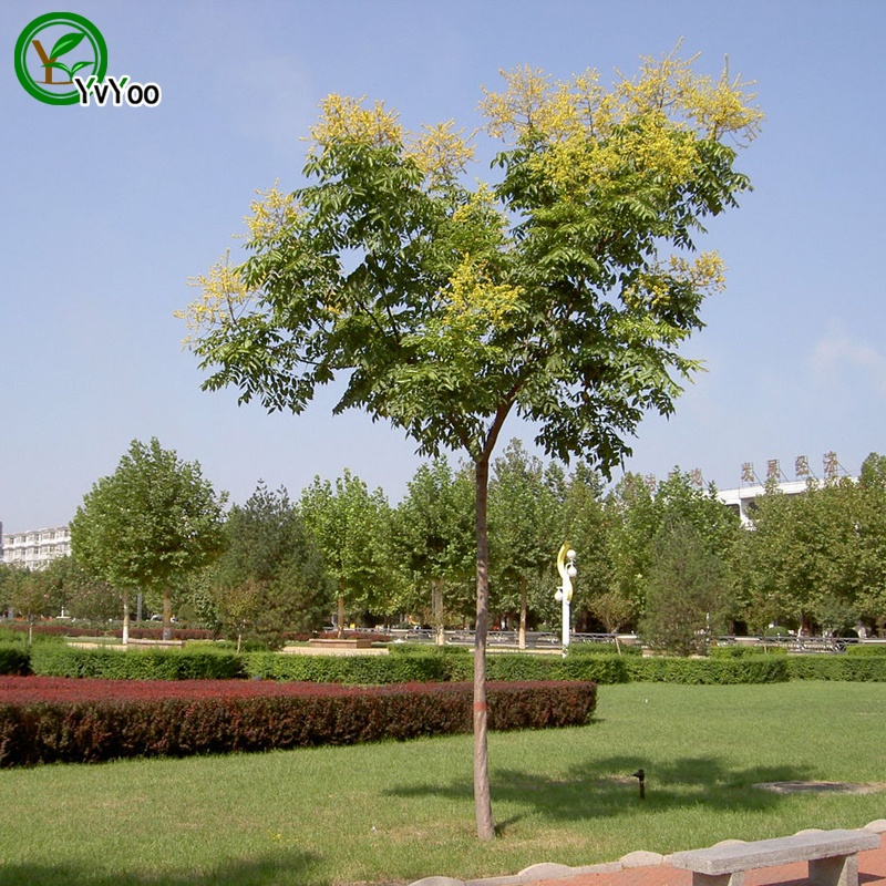 Yellow Koelreuteria Seeds bonsai tree 100% true seed in-kind shooting home garden plant 20 pcs Y05