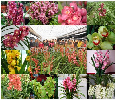 Cymbidium Orchids Retail Orchid Seeds Cymbidium