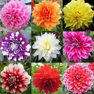 Type ordinally yukako dahlia bulbs seeds bonsai flowers - 100 pcs seeds(China (Mainland))