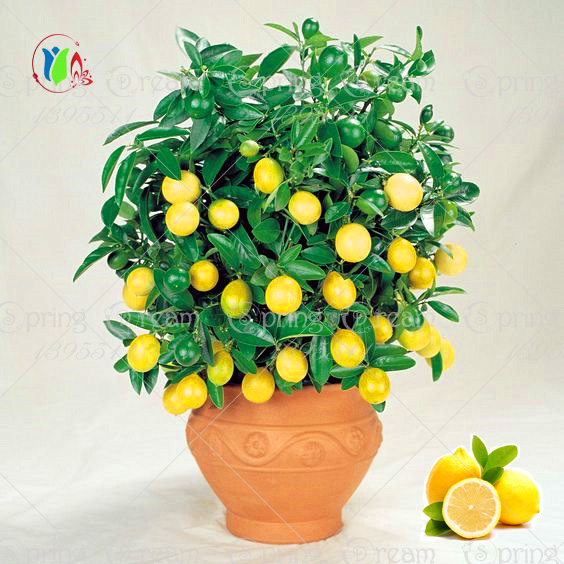 20pcs Lemon Tree seeds fruit seeds bonsai plant DIY home garden BONSAI seeds Edible Green Lemon seeds(China (Mainland))
