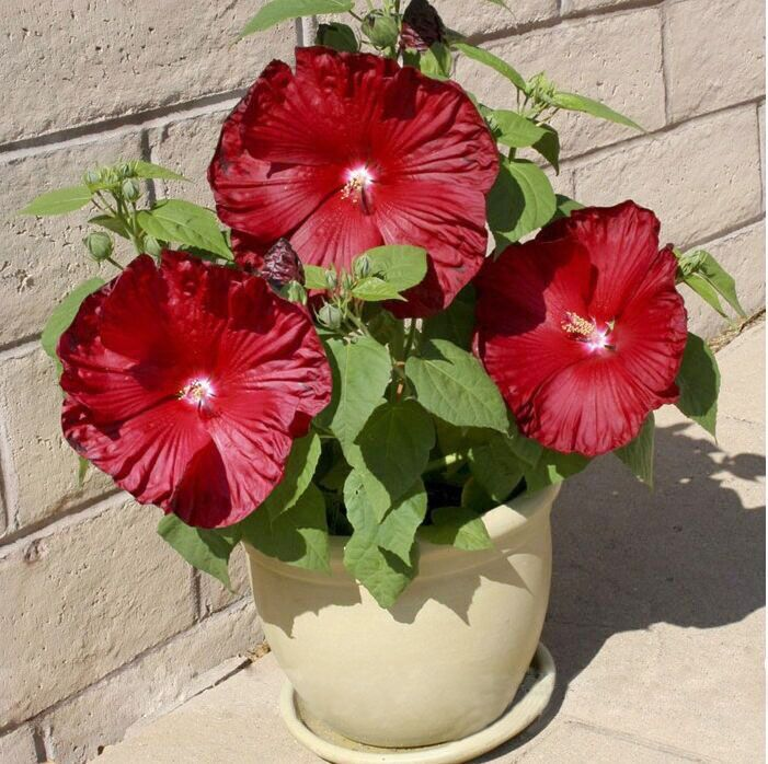 Honeymoon Deep Red Hibiscus Seeds, Professional Pack, 20 Seeds / Pack, The Darkest, Most Velvety Red Ever Bonsai Flower(China (Mainland))