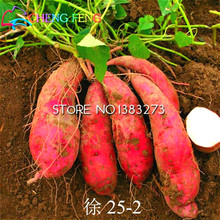 Free Shipping 20pcs/bag Giant Sweet Potato Seeds Vegetables Seed Happy Farm Flowering Plants Fruit And Vegetable Garden Supplies(China (Mainland))