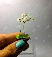 100 pz/borsa mini piante di orchidee phalaenopsis orchidea vaso bonsai fiore di impianto al coperto rare in vaso di orchidea per giardino in miniatura(China)