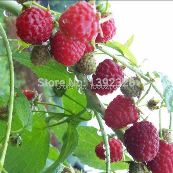 Nueva 50 unids natural de color rojo frambuesa semillas - Semillas de frutas y verduras ...