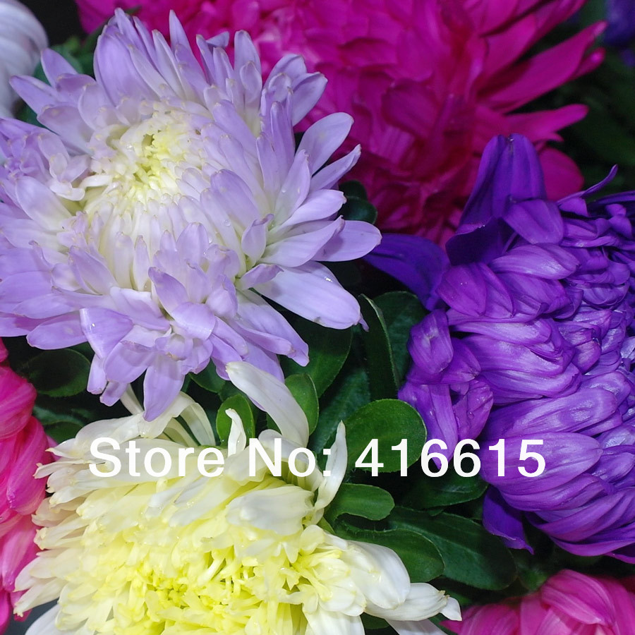 500 Mixed Color Callistephus Chinensis Seeds ASTER American Branching,Beautiful Flower Seeds,Plus Mysterious Gift,Bonsai Plants - Natural Gardening Technology Co., LTD store