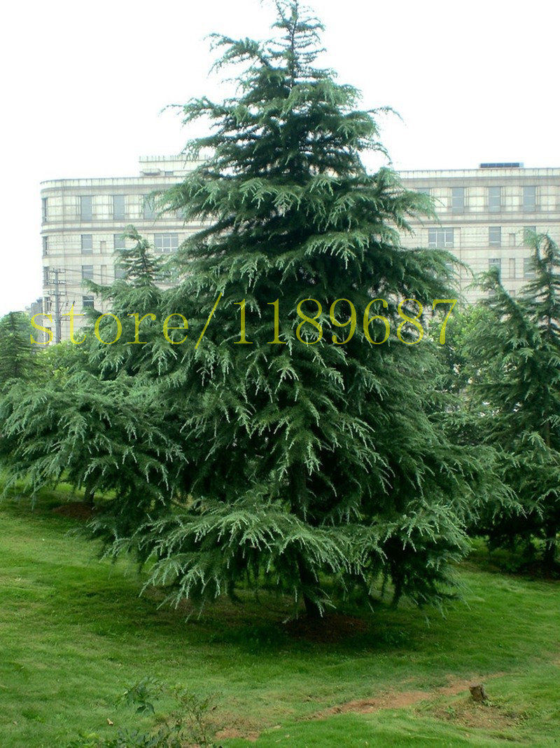 Forest pine trees reviews online shopping forest pine for Arbol perenne para jardin
