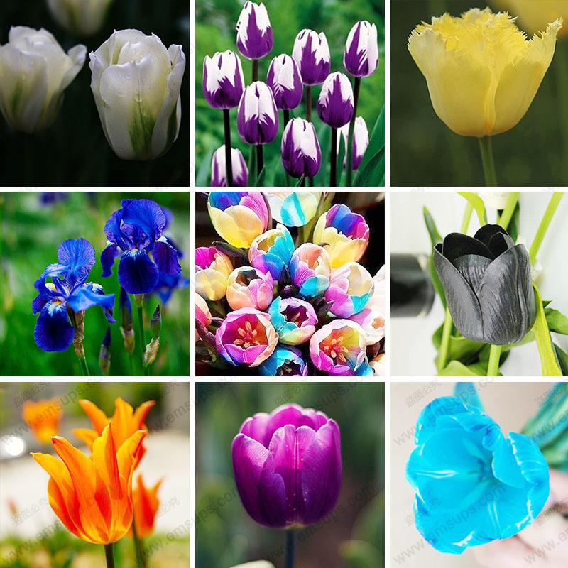 100pcs/bag Bonsai Tulip Seeds 20 Varieties Rainbow Black Purple Yellow Blue Tulip Flower Seeds Potted Plants(China (Mainland))