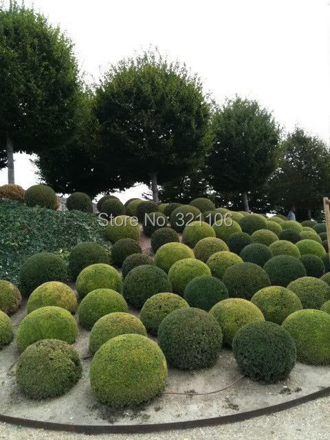 20 juniper balls potted flowers purify the air absorb harmful gases DIY home garden plant very