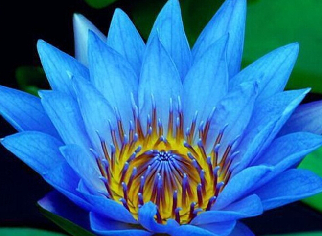 100pcs a lot Dark Blue Nymphaea Caerulea China Water Lily Pad Flower Seed 100% real with mysterious gift(China (Mainland))