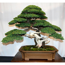 10 Juniper Bonsai Tree Potted Flowers Office Bonsai Purify The Air Absorb Harmful Gases Juniper Seeds Free Shipping