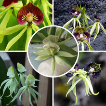 Octopus Orchid Seeds China Rare Flower Seeds For Home Garden Orchid potted flowers 50 particles / bag(China (Mainland))