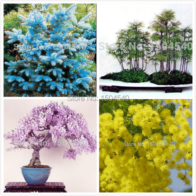 4popular bosai tree seeds total more than 60 seeds mini bonsai seeds Premium Bonsai Package Best Deals(China (Mainland))