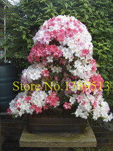 Buy 20pcs / bag, Azalea seeds, potted seed, flower seed, variety complete, budding rate 95%, (Mixed colors) for $1.03 in AliExpress store