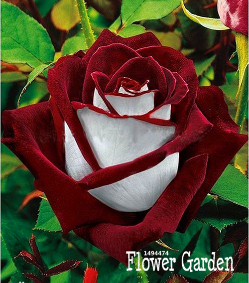 Loss Promotion!Red Edge Rose Seeds Plants Potted Rose Rare Flower Seeds Balcony for Home Garden 100 PCS/Bag,#0D9GZU