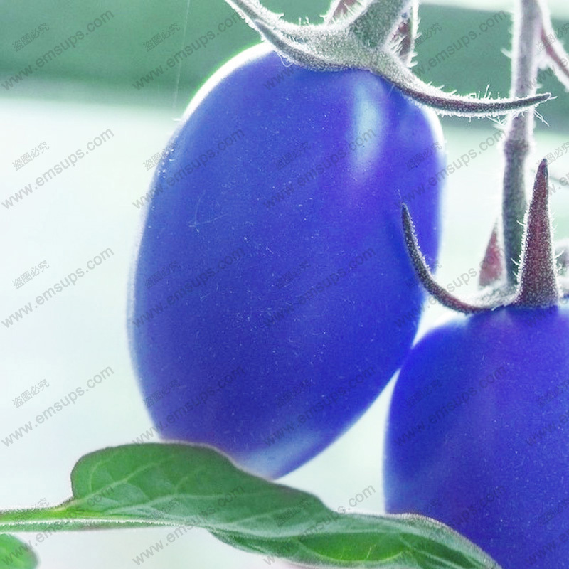 A Pack 100 PCS Blue Cherry Tomato Seeds Balcony Bonsai Potted Home Tomato Plant Seeds Healthy Fruits Vegetables(China (Mainland))
