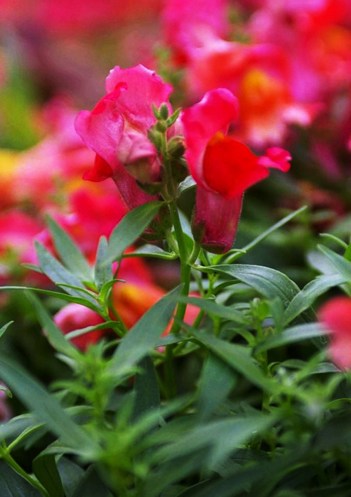 5 Pack 300 Seed Common Snapdragon Seeds Red Sweetheart Antirrhinum Majus Flower Hot A181(China (Mainland))