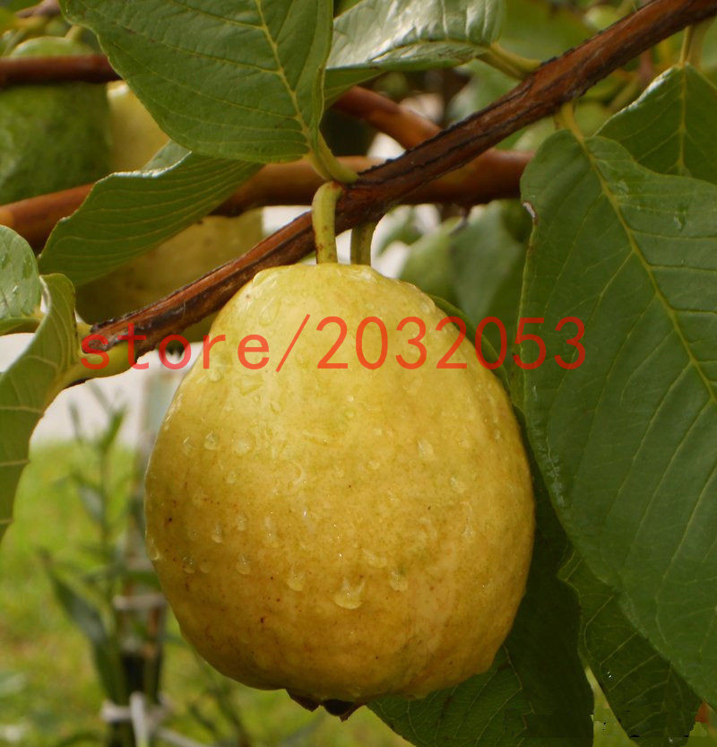 pear seeds 20 Florida Tropical White/Yellow Pear Guava Fruit Tree perennial flower pots planters(China (Mainland))