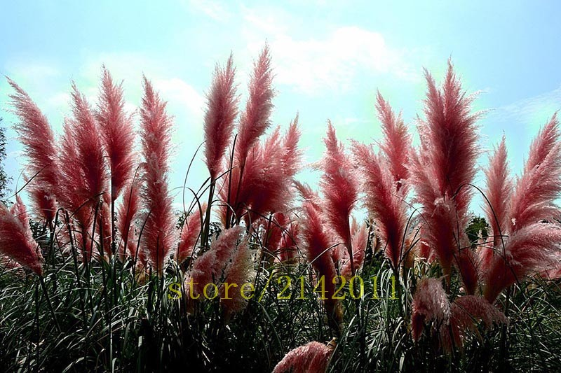 400pcs bag pampas garss pampas seeds pampas grass plant for Ornamental grass with yellow flowers