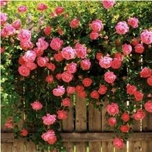 50 seeds/pack Rose flower seedling seed rose plants balcony bonsai plants flower seeds rose seeds(China (Mainland))