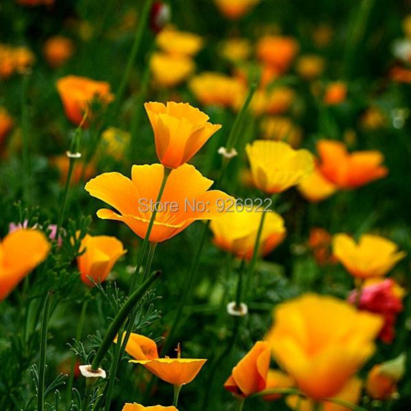Yellow Poppy Images Yellow California Poppy