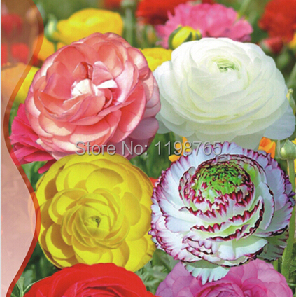 60pcs/bag 10colors for Chose Ranunculus Flower Seeds Persian Buttercup Seed POT FLOWER PLANT GARDEN BONSAI DIY HOME PLANT 49%(China (Mainland))