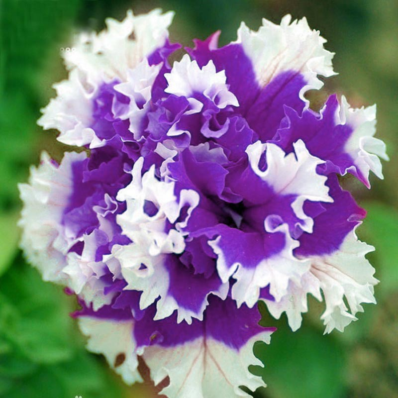 New products unique style inlaid white and purple petunia hanging flower seeds Petunia seeds seeds indoor flower 200 Pieces(China (Mainland))
