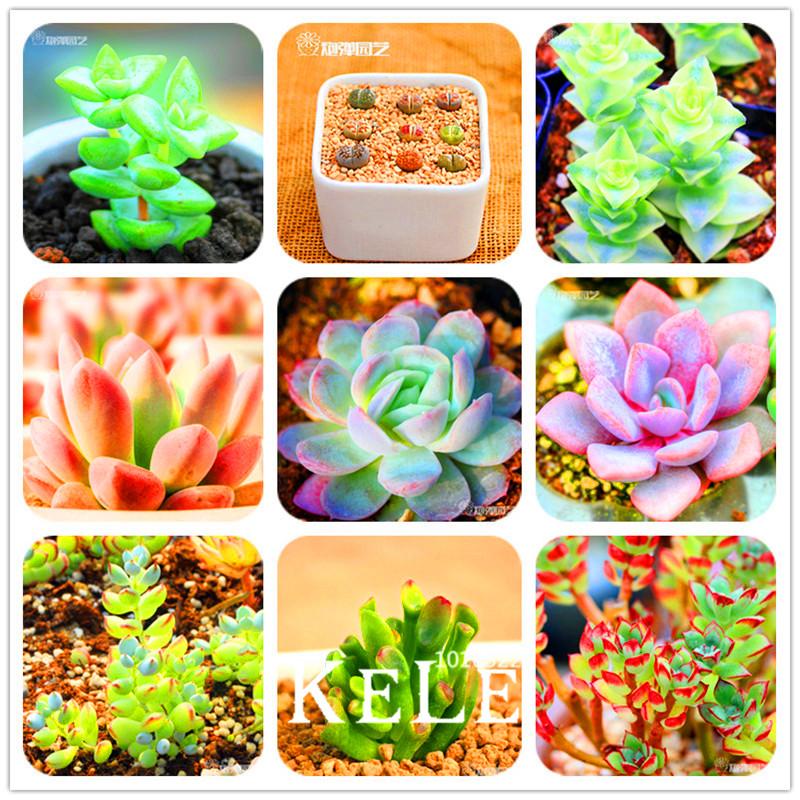 New Seeds 2015!10pcs/Bag 99 Kinds to choose Lithops Seeds Succulents Seeds Pseudotruncatella Office Bonsai Flower Seeds,#OFK2BA(China (Mainland))