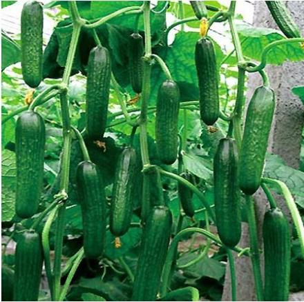Hot Selling Cucumber Seeds,Cuke Seeds, Green Vegetable Seeds of cucumbers Home Garden(China (Mainland))
