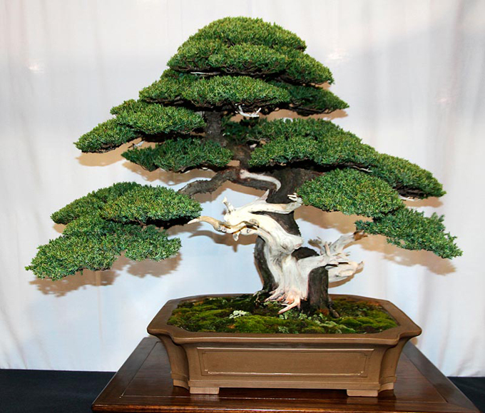 50 juniper bonsai tree potted flowers office bonsai purify the air absorb harmful gases free shipping(China (Mainland))