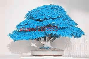 20pcs/bag bonsai blue maple tree seeds Bonsai tree seeds. rare japanese sky blue maple seed. Balcony plants for home garden
