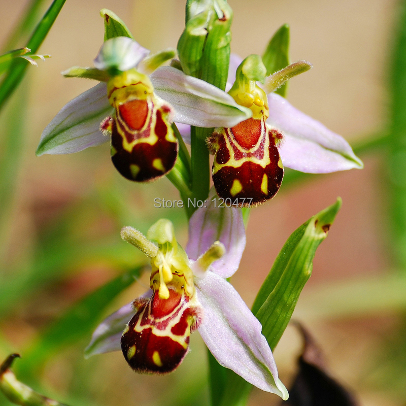 China Rare Flower Bee Orchid Flower Seed Smile Face Interesting Flowers Seed Flora Semillas Bee ,50 seedsa/bag(China (Mainland))