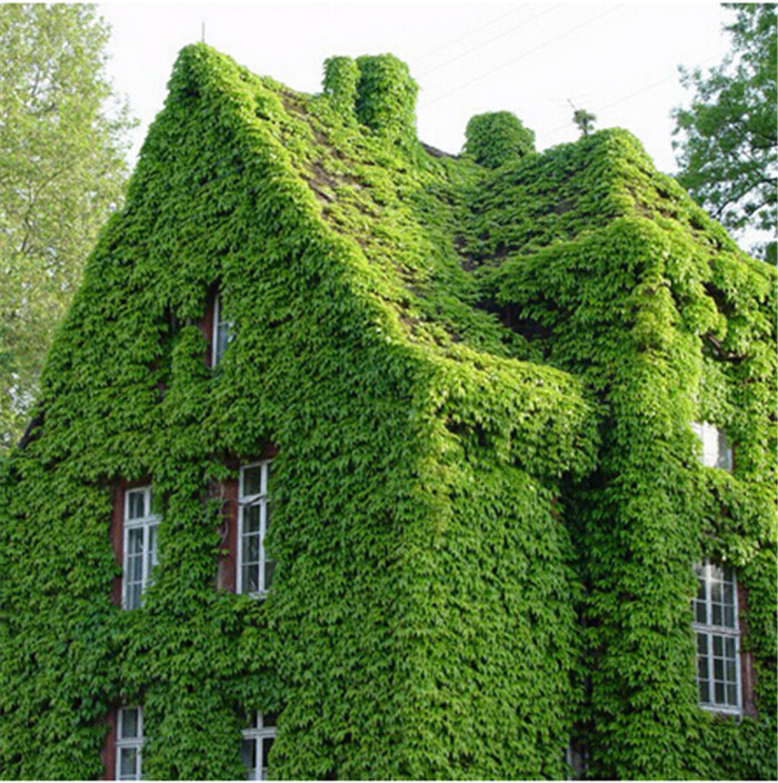 100 pcs/Pack Green Boston Ivy Seeds Ivy Seed For DIY Home & Garden Outdoor Plants Seeds Drop Shipping Free Shipping(China (Mainland))