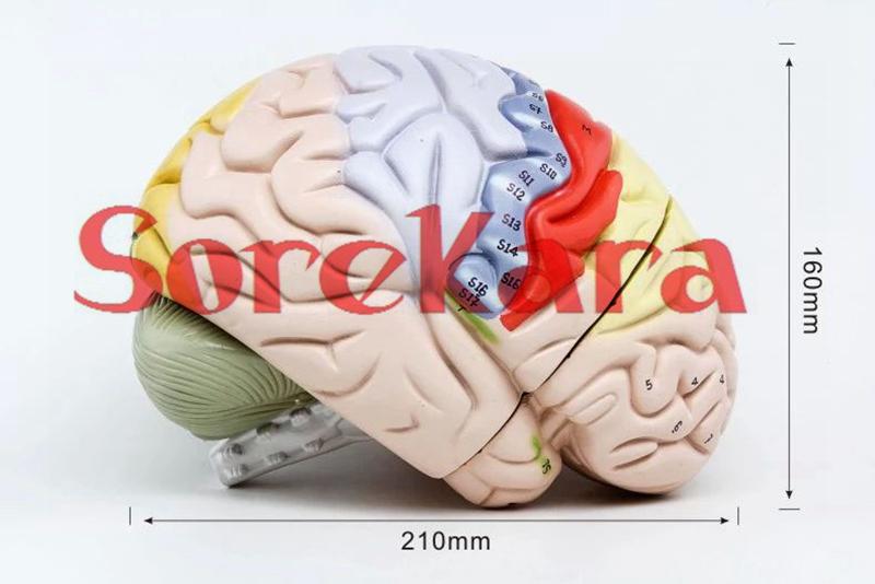 Human Anatomical Colorful Brain Anatomy Dissection Medical Organ Teach Model Hi-Q For School Hospital<br><br>Aliexpress