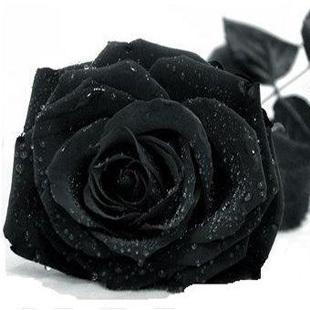 Rose seeds black rose seeds rare Amazingly Beautiful Black Rose Flower - 100 pcs seeds(China (Mainland))