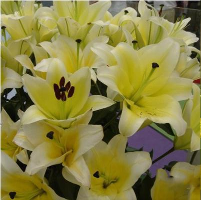 Young queen Lily bulbs(China (Mainland))