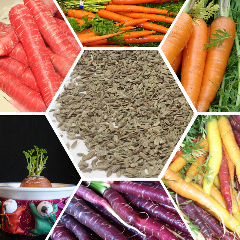 Fruits and vegetables Carrot Seed radish seed quality home potted purple carrot seed 200 SEEDS(China (Mainland))