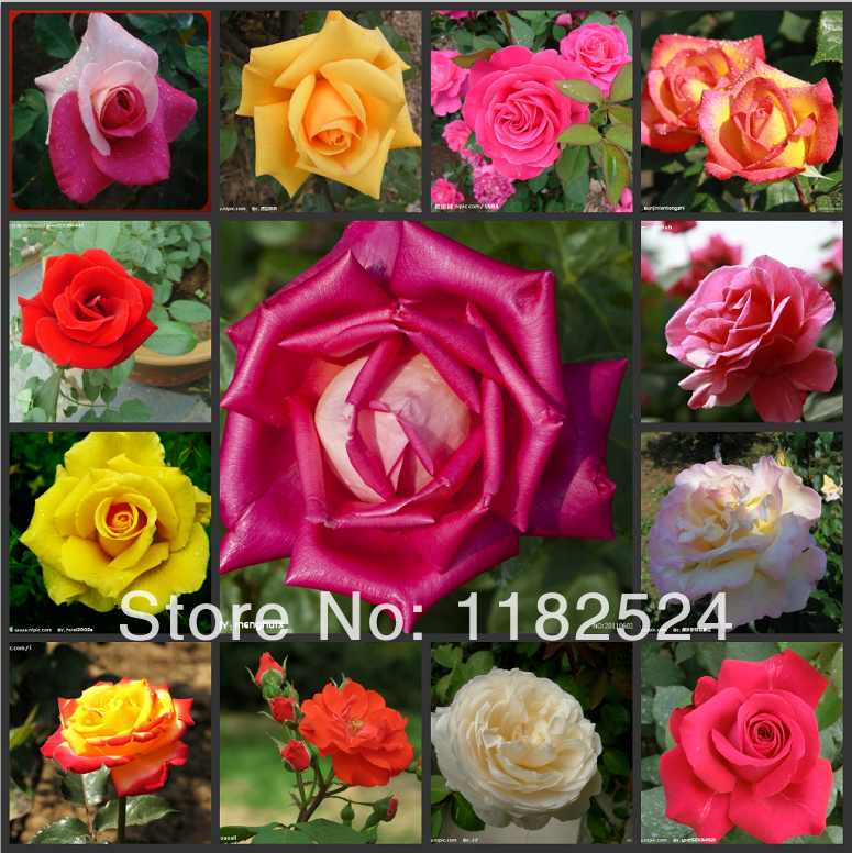 Free shipping 200 multi colored fresh chinese rose bush for Multi colored rose bushes