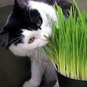 Organic 50 Cat Grass Seeds Antioxidant Pets Health Food diy home garden Free Shipping L001(China (Mainland))