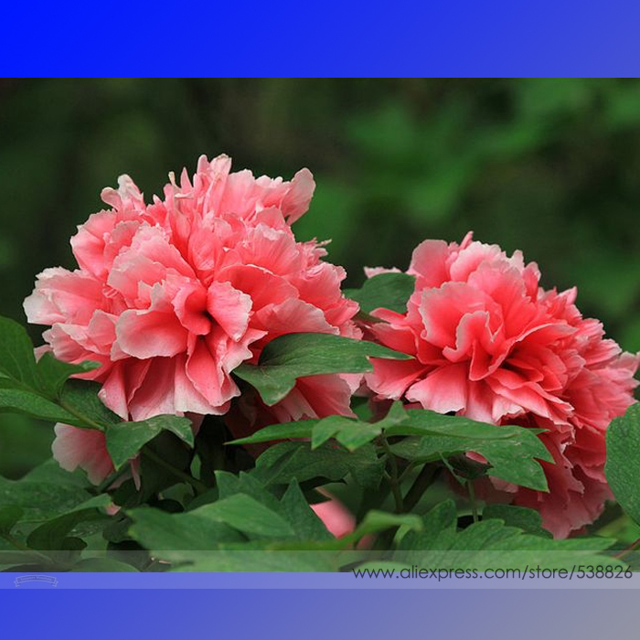 Rose Red Peony 'Shao Nv Hong' Flower Tree Seeds, Professional Pack, 5 Seeds / Pack, Light Up your Garden Rare Flower #NF593(China (Mainland))