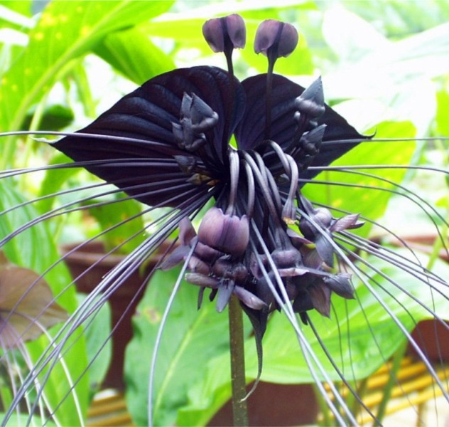 2015 HOT SALE Black Tiger Shall Orchid Flowers Seeds 100pcs Rare Flower Orchid Seeds Free shipping
