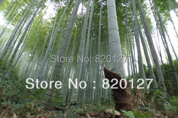 2014 New Crop 300PCS MOSO BAMBOO HUGE MAO GIANT BAMBOO-  Seeds - Phyllostachys pubescens / edulis - Moso Hardy Bamboo